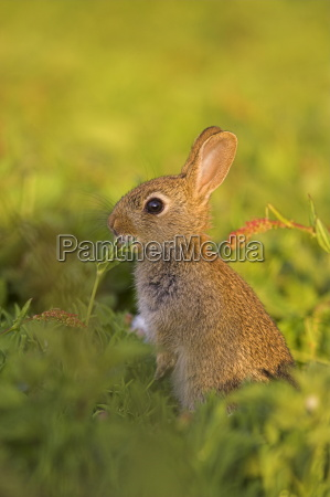 young rabbit oryctolagus cuniculas isle of