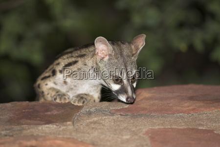 large spotted genet genetta tigrina at