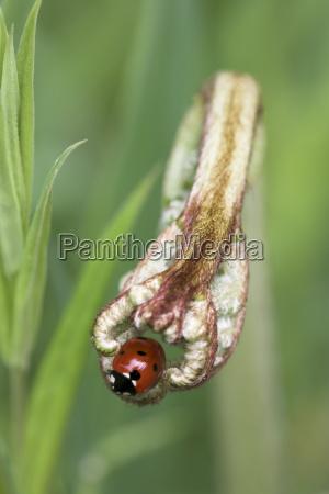 seven spot ladybird coccinella septempunctata lancashire