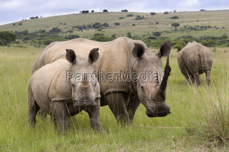 white rhino ceratotherium simum and calf