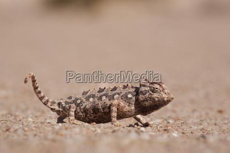 namaqua chameleon chamaeleo namaquensis namib desert