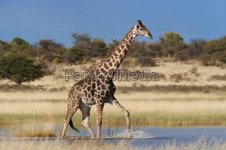 giraffe giraffa camelopardalis wading through seasonal