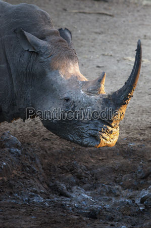 white rhino ceratotherium simum at waterhole