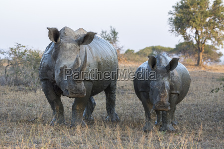 white rhino ceratotherium simum with calf