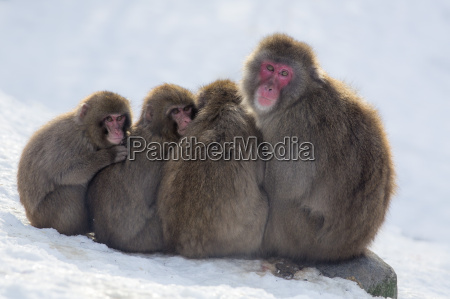 snow monkeys macaca fuscata huddling together