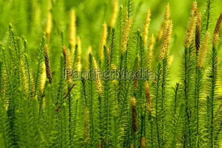 huperzia medicinal plant against alzheimers