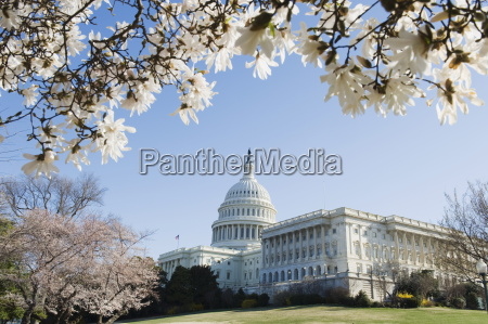 spring cherry blossom the capitol building