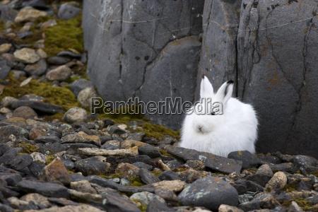 snow hare lepus americanus churchill manitoba