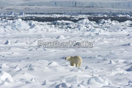 polar bear ursus maritimus on pack