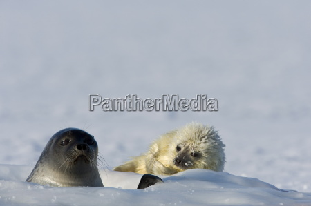 ringed seal phoca hispida with pup