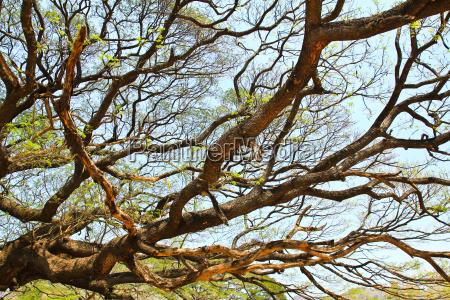 largest monkey pod tree in kanchanaburi