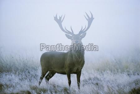 red deer cervus elaphus stag at