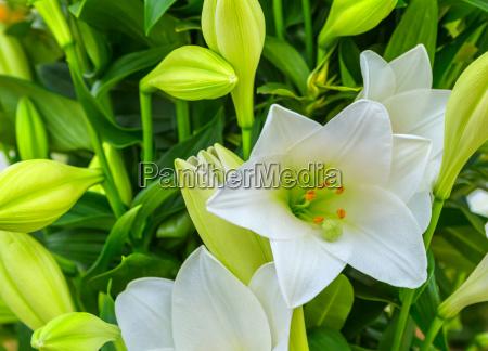 beautiful big white lily flower close