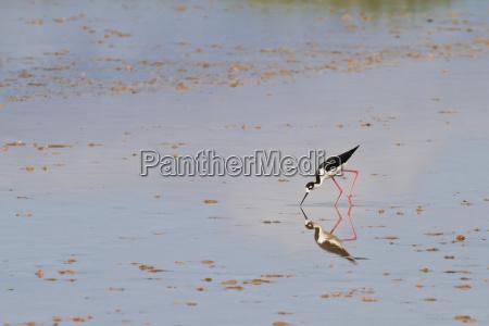 adult black necked stilt himantopus mexicanus