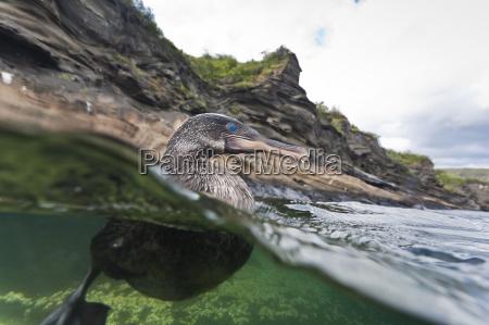 flightless cormorant nannopterum harrisi tagus cove