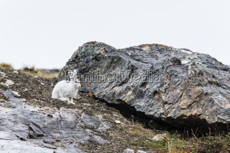 adult arctic hare lepus arcticus blomsterbugten