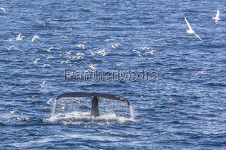 humpback whale megaptera novaeangliae vikingbukta northeast