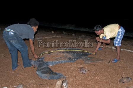 researchers measuring a female leatherback turtle