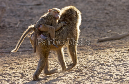 female olive baboon carrying young grumeti