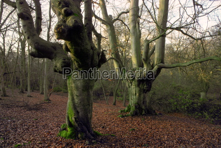 knarled beech trees with bare branches