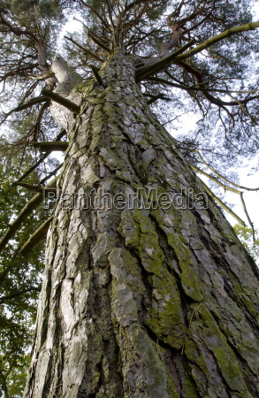 tall pine tree viewed from below