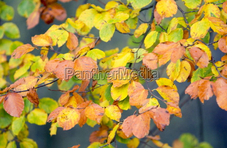 beech leaves turning from green to