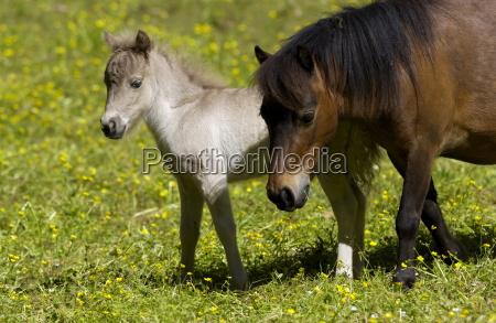 shetland pony and foal north