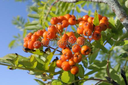 rowan mountain ash sorbus aucuparia berry