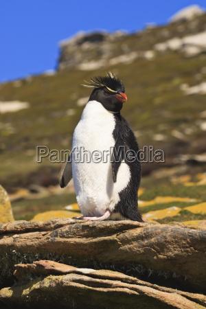 rockhopper penguin eudyptes chrysocome poses on