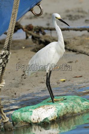 little egret egretta garzetta scanning for