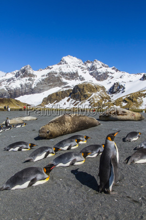 king penguins aptenodytes patagonicus gold harbour