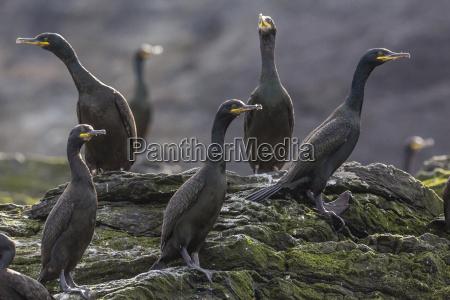 adult great cormorant shag phalacrocorax carbo