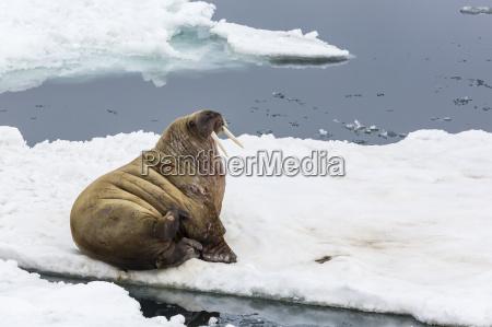 adult walrus odobenus rosmarus rosmarus torrelneset