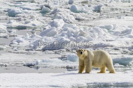 adult polar bear ursus maritimus on