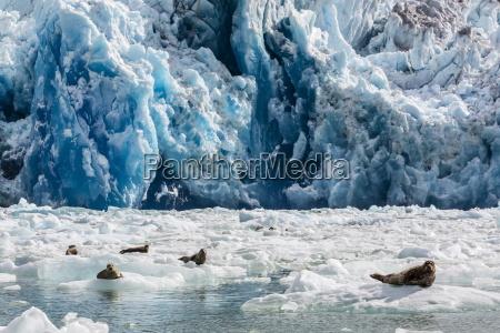 harbour seal phoca vitulina south sawyer