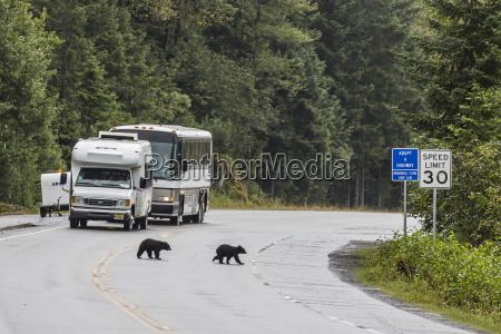 american black bear ursus americanus coy