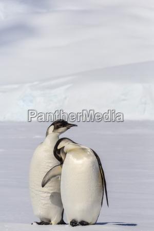 recently fledged emperor penguins aptenodytes forsteri