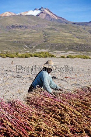 farming quinoa a super food on