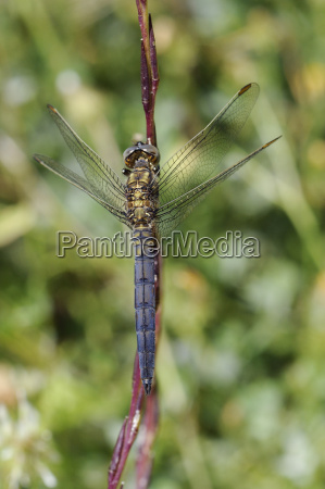 young male keeled skimmer dragonfly orthetrum