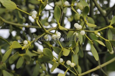 mistletoe berries viscum album on female