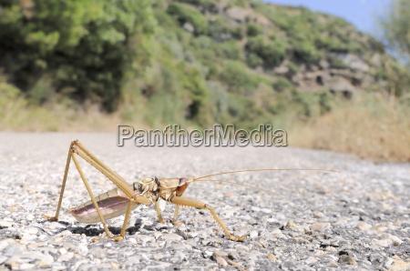 balkan sawing cricket saga natoliae the