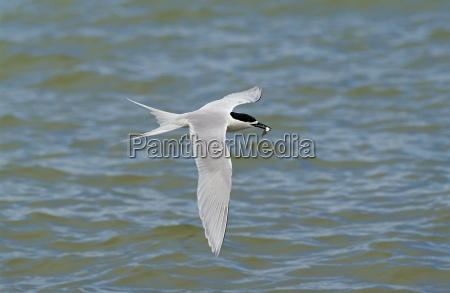 white fronted tern sterna striata in