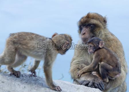 barbary macaques macaca sylvanus interaction gibraltar