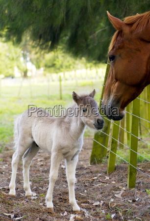 shetland pony foal meeting horse