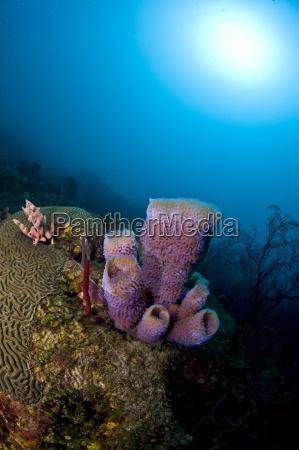 azure vase sponge callyspongia plicifera and