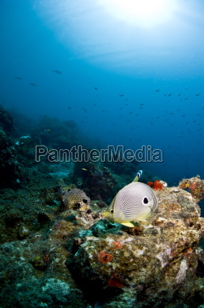 smooth trunkfish lactophrys triqueter and foureye