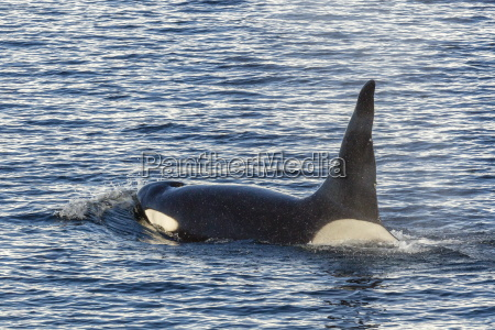 type a killer whale orcinus orca
