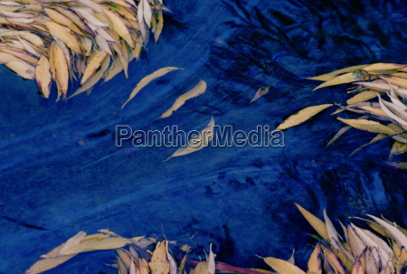 leaves fallen from a willow tree