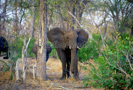 mother elephant and calf in woodland