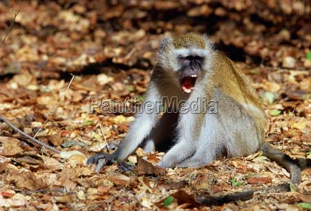 vervet monkey displaying aggression zimbabwe africa